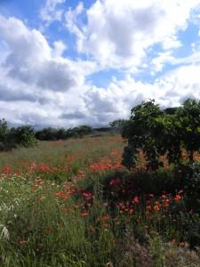 Poppy field, Puglia